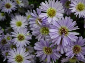 Michaelmas_daisy_or_Aster_amellus_from_Lalbagh_Flowershow_-_August_2012_4722.JPG