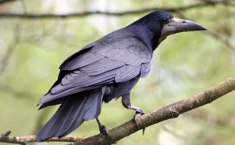 Rooks and Rookeries